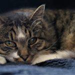 Le viellissement chez le chat